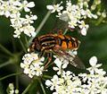 Helophilus pendulus (Common Tiger Hoverfly) - Flickr - S. Rae (5).jpg
