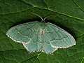 Hemithea aestivaria - Common emerald - Зелёная пяденица хвостатая (42937532292).jpg