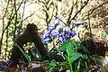 Hepatica nobilis ENBLA12.jpg