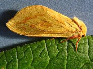 Ghost moth - Image: Hepialus humuli
