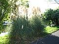 Herbes de la pampa (Capbreton) 2.jpg