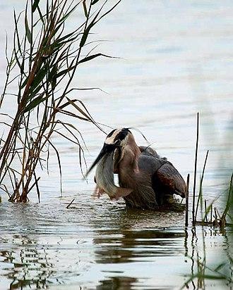 Quivira National Wildlife Refuge - Image: Heron Bass Fishing 01
