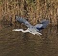 Heron 2d (5204236021).jpg