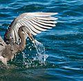 Heron 9 (7378086322).jpg