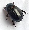 Heteronychus arator01.jpg