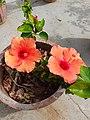 Hibiscus flower (2).jpg