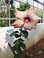 Hibiscus rosa sinensis hybrid-6-hanuman temple-muluvi-yercaud-salem-India.jpg