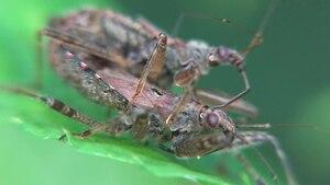 File:Himacerus apterus in copula - 2012-08-16.ogv