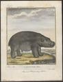 Hippopotamus amphibius - 1700-1880 - Print - Iconographia Zoologica - Special Collections University of Amsterdam - UBA01 IZ21900005.tif