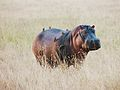 Hippopotamus amphibius - hippo and friends.jpg