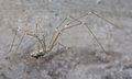 Holocnemus hispanicus - 01.jpg