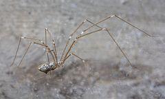 240px holocnemus hispanicus   01