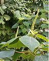 Homalanthus populifolius BotGardBln271207C.jpg