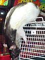 Hooded Rat after Surgery.JPG
