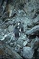 Horseshoe I moulting penguins.jpg