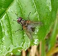 House Fly. Helina reversio - Flickr - gailhampshire.jpg