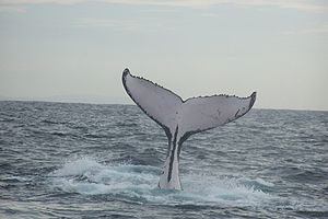 Cetacea - Humpback whale fluke