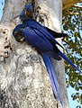 Hyacinth Macaws (Anodorhynchus hyacinthinus) on nest ... (48386363532).jpg