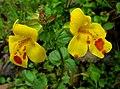 Hybrid Monkeyflower (Mimulus x robertsii) - geograph.org.uk - 1395651.jpg