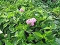 Hydrangea macrophylla Nikko Blue 0zz.jpg