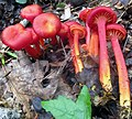 Hygrocybe appalachianensis (Hesler & A.H. Sm.) Kronaw 352957.jpg