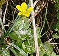 Hypericum elodes1.jpg
