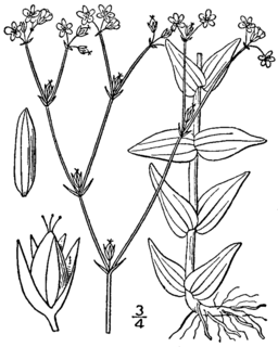 <i>Hypericum gymnanthum</i> Species of flowering plant in the St Johns wort family Hypericaceae