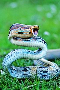 IMG Copper Headed Trinket Snake.jpg