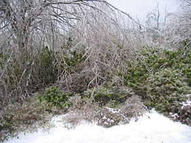 Ice Encased Trees and Bushes in Winter.jpg