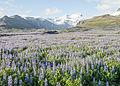 Iceland Nootka Lupin Flower Fields.jpg