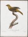Icteria virens - 1805 - Print - Iconographia Zoologica - Special Collections University of Amsterdam - UBA01 IZ16600291.tif