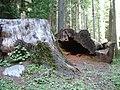 Idaho white pine along white pine drive (10490146693).jpg