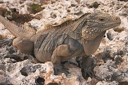 A large iguana with red eyes, black feet, and a yellowish tint to its spike covered head in the wild facing to the right.