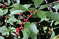 Ilex verticillata Winter Red 6zz.jpg