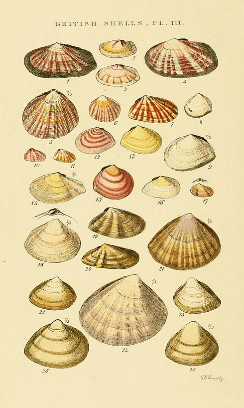 Illustrated Index of British Shells Plate 03.jpg
