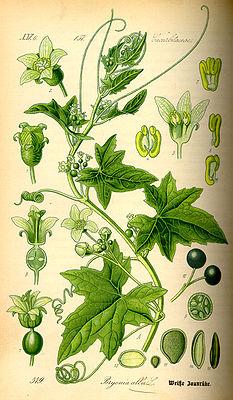 White bryony (Bryonia alba), illustration