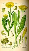 Illustration Calendula officinalis0