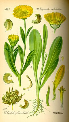 Illustration Calendula officinalis0.jpg