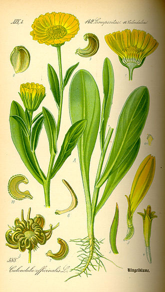Calendula - Image: Illustration Calendula officinalis 0