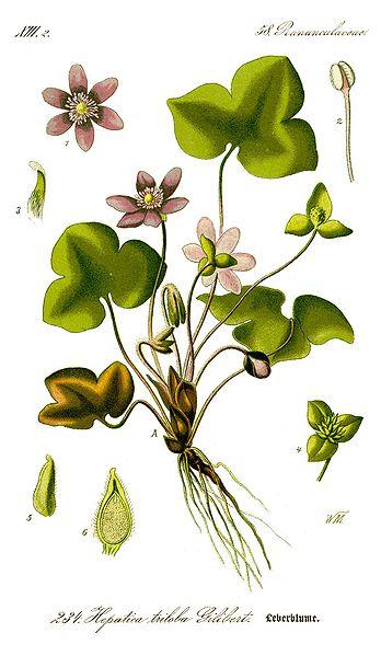 File:Illustration Hepatica nobilis0 clean.jpg