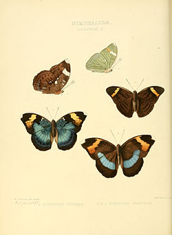 Illustrations of new species of exotic butterflies Euryphene II.jpg