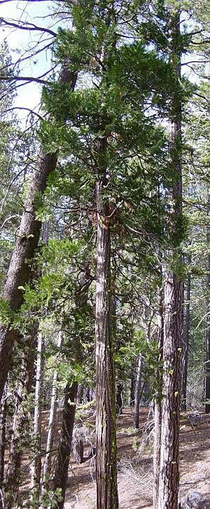 Calocedrus decurrens - Image: Incense Cedar in Lassen VNP