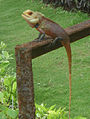 Indian Garden Lizard (Calotes versicolor) at Tenneti Park 01.JPG