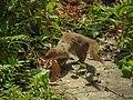 Indian grey mongoose 01.jpg