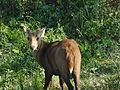 Indian hog deer in Assam India.jpg