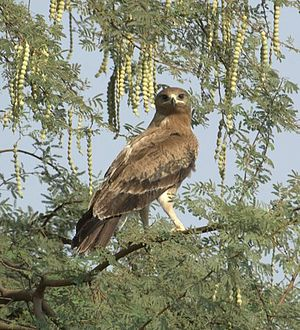 Indian spotted eagle - Adult Note wide mouth and dark eyes