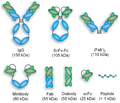 Intact antibodies and a variety of antibody fragments.png