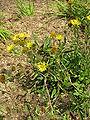 Inula ciliaris1.jpg
