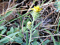 Inula montana 2009-7-25 SierraNevada.jpg