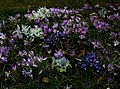 Iris Katherine Hodgkin types A ^ B - Flickr - peganum.jpg